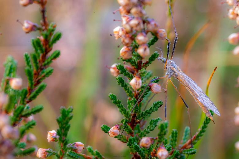 """Mosquito - Deze mug mooi tussen de heide kunnen vastleggen bij Buntven in Deurne <img  src=""""/images/smileys/wilt.png""""/> En die zaten er veel.... HEEL"""