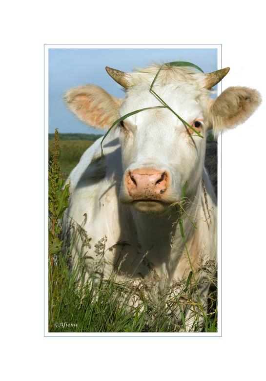 Camouflagekoe - Deze koe wil liever neit gezien worden.....<br /> Vond het wel een grappig gezicht met die sprieten op de kop!<br /> Bedankt voor de