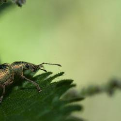 Golden Bug