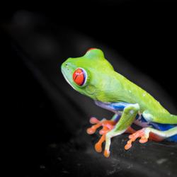 Groene boomkikker in Costa Rica