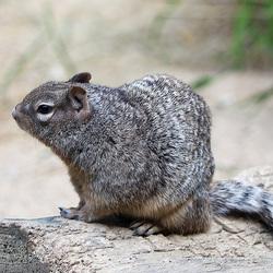 Rots eekhoorn