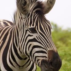 Zebra 1 on 1