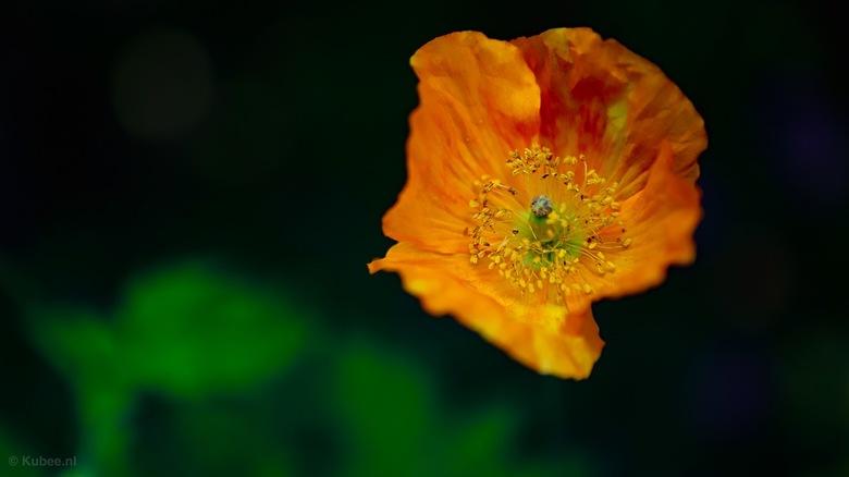 Oranje klaproos - Wilde oranje klaproos