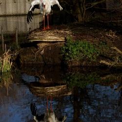 Ooievaar met spiegeling in Dierenrijk