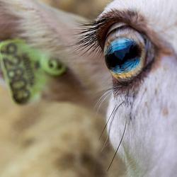 Door het oog van de ooi