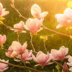 Magnolia in het gouden uur