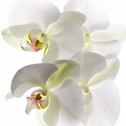 High Key Orchidee