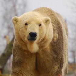 Aaibare ijsbeer