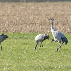 Kraanvogels in Diepholz Oktober 2012