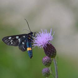 Phegeavlinder (Amata Phegea)
