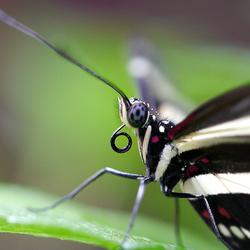 Intens zeldzame voetbal-oog-vlinder