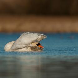 Stretchy Swan