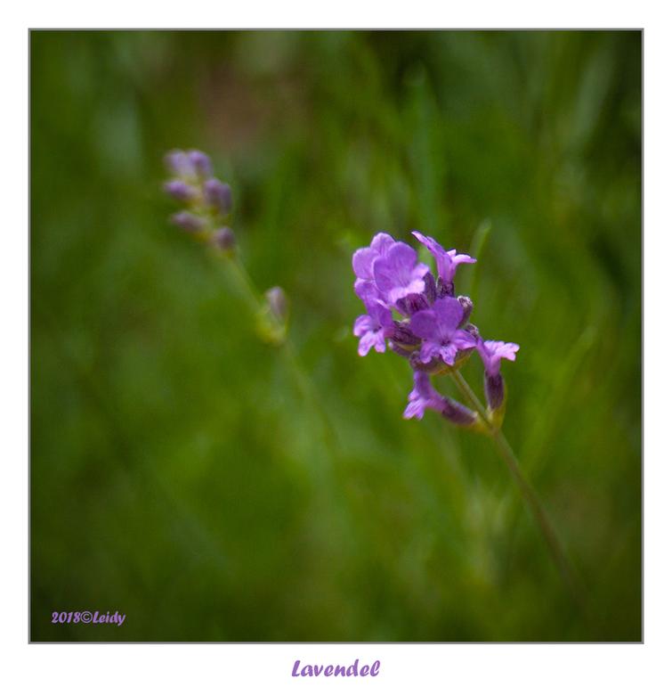 Lavendel II