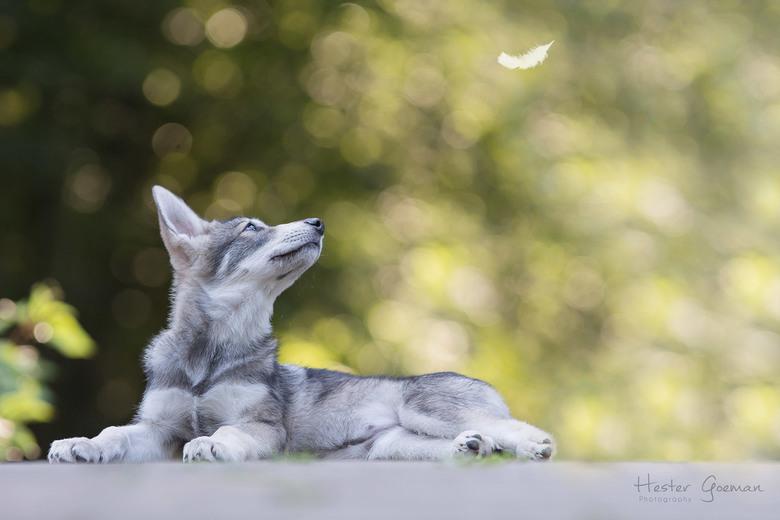 Yiska de Saarloos Wolfhond