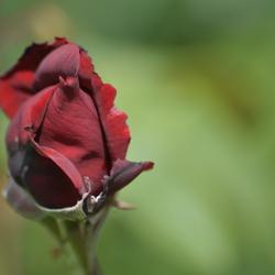 prachtige rode roos met een blad half los hangt