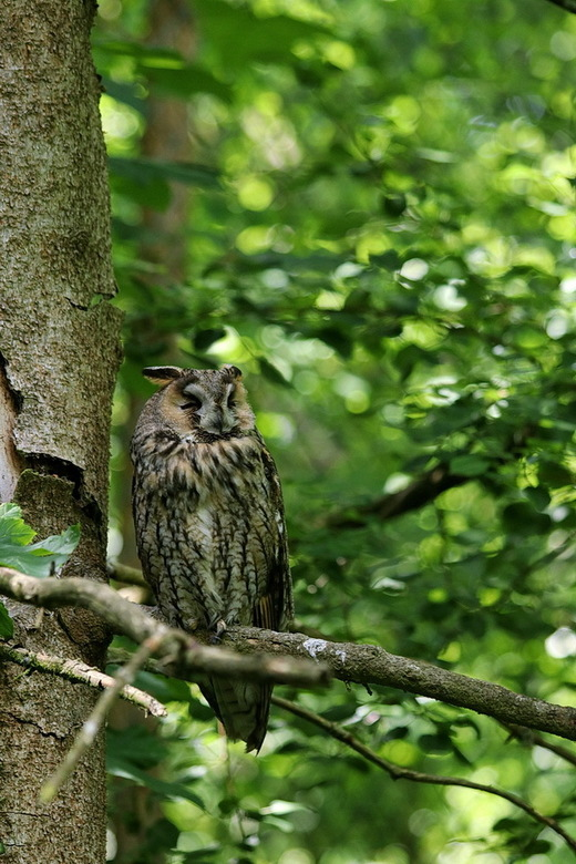 Vogel serie 294. - Uil gespot in het nationalpark Bayerische Wald Duitsland.<br /> Volgens mijn een Oehoe maar zeker ben ik er niet van, hoor wel van