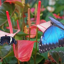 morpho vlinder 2