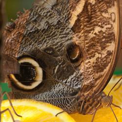 1-oog Vlinder