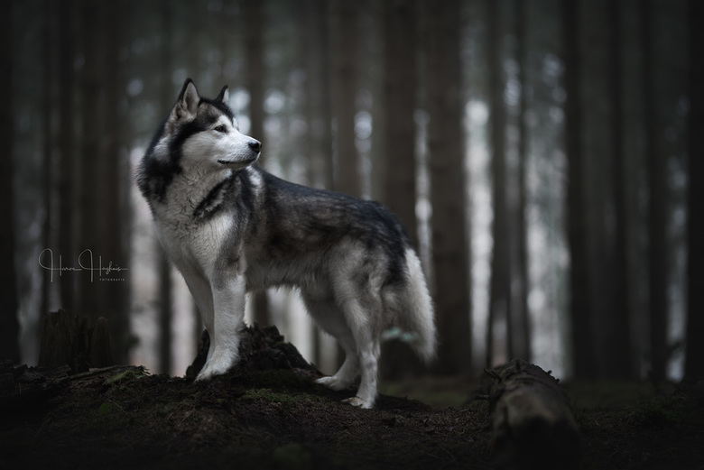 Howls in the dusk