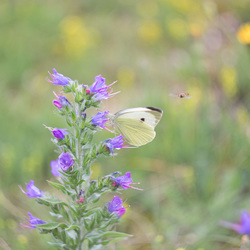 vlinder en zweefvlieg