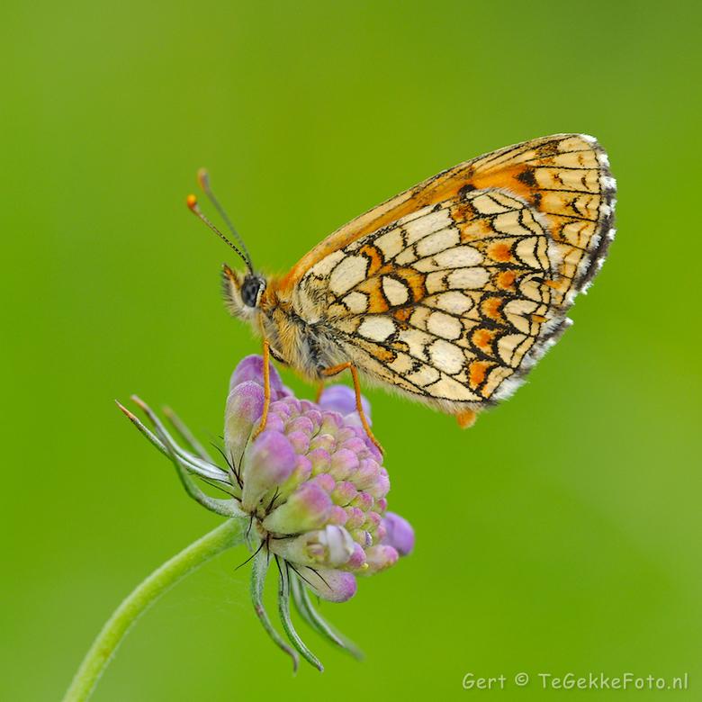 bosparelmoervlinder -