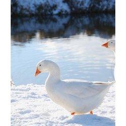 Witte gans