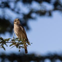 Vogel in de Kgalagadi Transfrontier NP.jpg