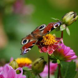 Een ijverig vlindertje!