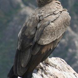 Rustende condor