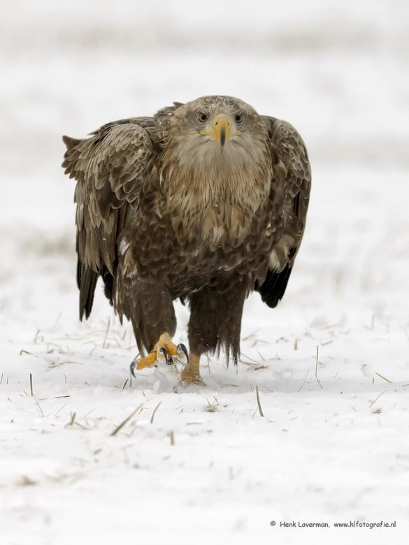 Zeearend - De combinatie van sneeuw en Zeearend fotograferen is altijd leuk.<br /> <br /> hoi henk<br /> http://www.hlfotografie.nl/