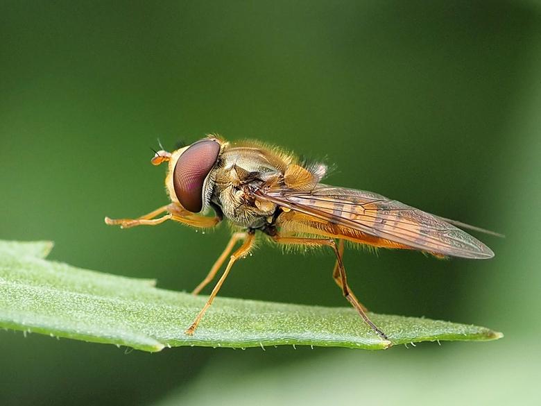 Snorzweefvlieg Episyrphus balteatus  - De Snorzweefvlieg (Episyrphus balteatus) is een van de meest voorkomende zweefvliegen. <br /> Ze zijn regelmat