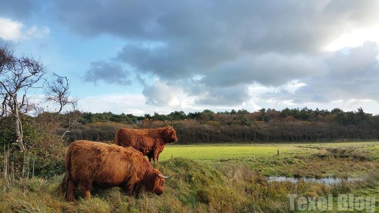 Schotse hooglanders op Texel