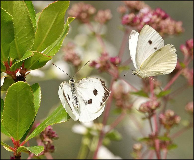 de beer is los................... - ik bedoel natuurlijk: de vlinder is los.... na al jullie lovende reacties op mijn vlinderfoto gooi ik er nog maar
