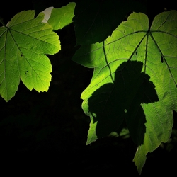 fotosynthese in de schaduw