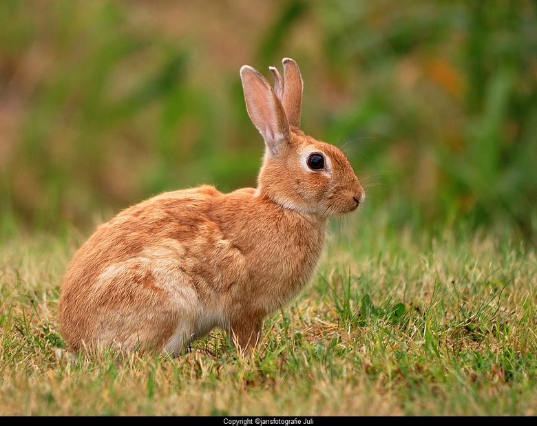 broertje konijn - een rondje Lauwersmeer vorige week<br /> hier ff een upload van mij is lang gele ff een beetje zoom moe, kwam bij veel voetbal en z