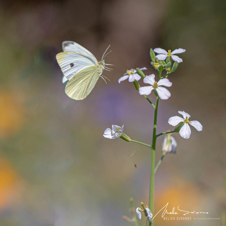 Vlinder  - genieten van de natuur in onze tuin