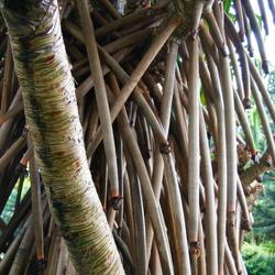 vanillestokken boom