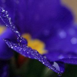Violet teardrops...