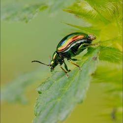 De groene muntgoudhaan (Chrysolina herbacea)