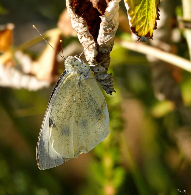 Koolwitje - In eigen tuin in de avond. Je ziet ze veel maar toch een mooie vlinder. Groot Koolwitje vlg. mij.<br /> <br /> Bedankt voor de reacties