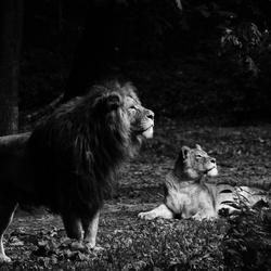 Leeuwen lichtval