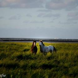paarden op het wad
