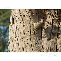 Cardinal Woodpecker, Kenia