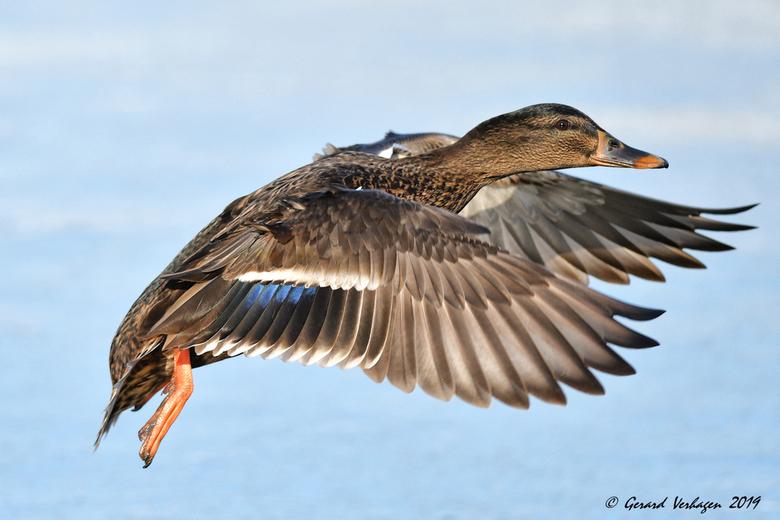 Flying Duck .............. - Beetje krap ingekaderd maar ik had niet meer ruimte (oftewel …. de eend vloog erg dichtbij op het moment van afdrukken <i