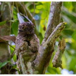 Grijze Nachtzwaluw, Costa Rica