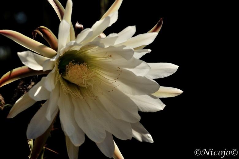 Cactus bloem. - Hij bloeit maar 24 uur, vaak begint hij tegen de avond te bloeien, ruikt heel zoet en de bijen hebben het dan heel druk. Onze cactus i