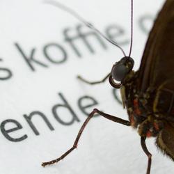 Vlinder die koffie wilt??