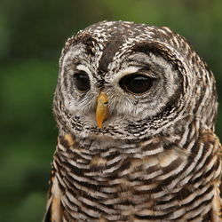 Rufous-legged Owl.
