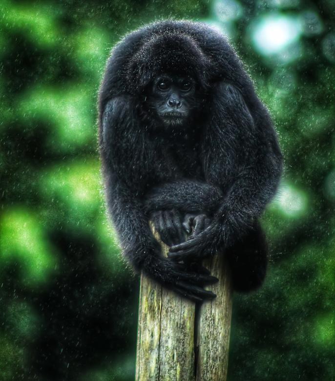 Aapje in de regen - Deze aap was niet zo blij met de regen volgens mij.