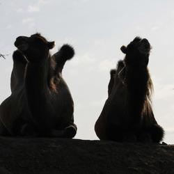 Kamelen silhouet